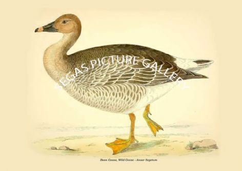 Fine art print of the Bean Goose, Wild Goose - Anser Segetum by Beverley Robinson Morris (1855)